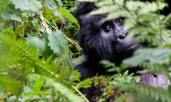 Factors to consider when choosing which country to see gorillas