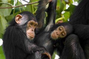 3 Day Chimp Habituation or Trekking In Kibale