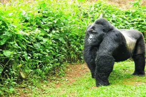 16 Day Uganda Primate, game and cultural tour