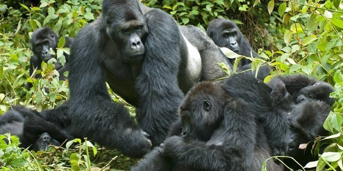 Dag-7b-Gorilla-tracking-i-Bwindi-Impenetrable-Nationalpark