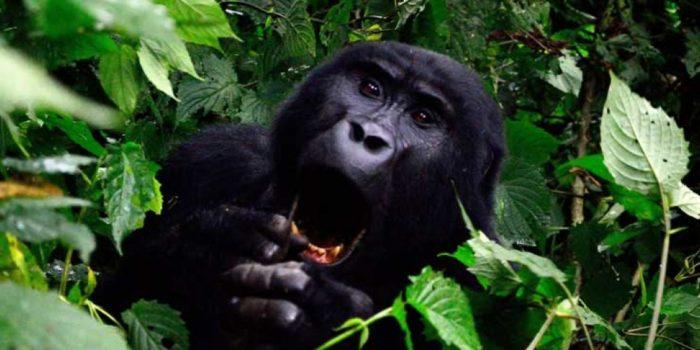 bwindi-gorilla-nh9u06tdkke87q4u14wmerz3gek0cpmk22owiyazyg