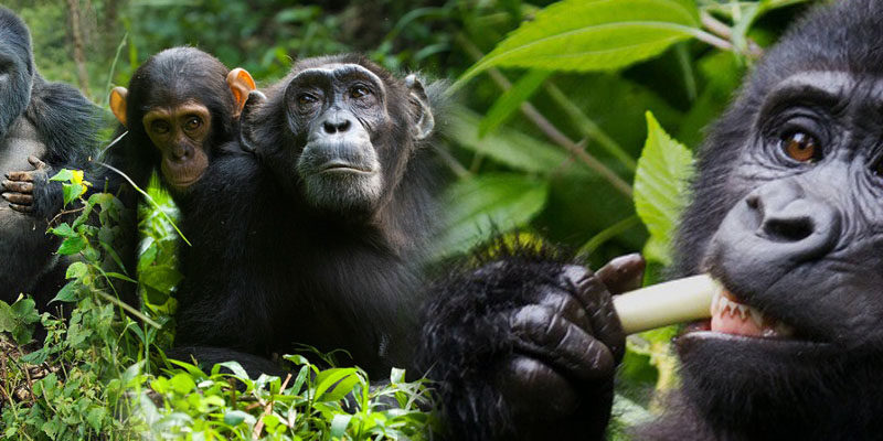gorilla-chimpazee-trekkingi-uganda