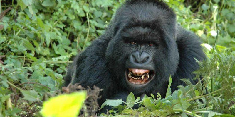gorilla three