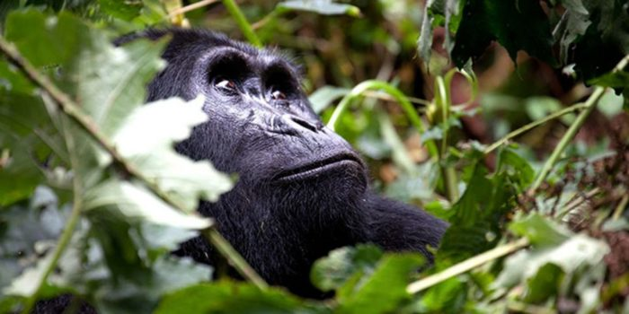 gorilla_safari_3days-1024x512